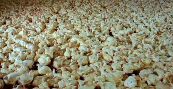 SAMSARA - Video sulla produzione e sul consumo di carne
