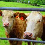 Vlady-Cows