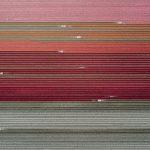 The Tulip Series, Tom Hegen e i campi di tulipani dall'alto | Collater.al 1