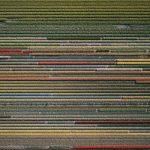 The Tulip Series, Tom Hegen e i campi di tulipani dall'alto | Collater.al 11