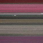 The Tulip Series, Tom Hegen e i campi di tulipani dall'alto | Collater.al 2