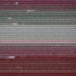 The Tulip Series, Tom Hegen e i campi di tulipani dall'alto | Collater.al 3