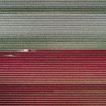 The Tulip Series, Tom Hegen e i campi di tulipani dall'alto | Collater.al 4