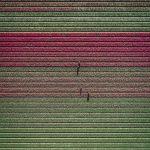 The Tulip Series, Tom Hegen e i campi di tulipani dall'alto | Collater.al 6