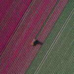 The Tulip Series, Tom Hegen e i campi di tulipani dall'alto | Collater.al 7