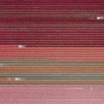 The Tulip Series, Tom Hegen e i campi di tulipani dall'alto | Collater.al 9