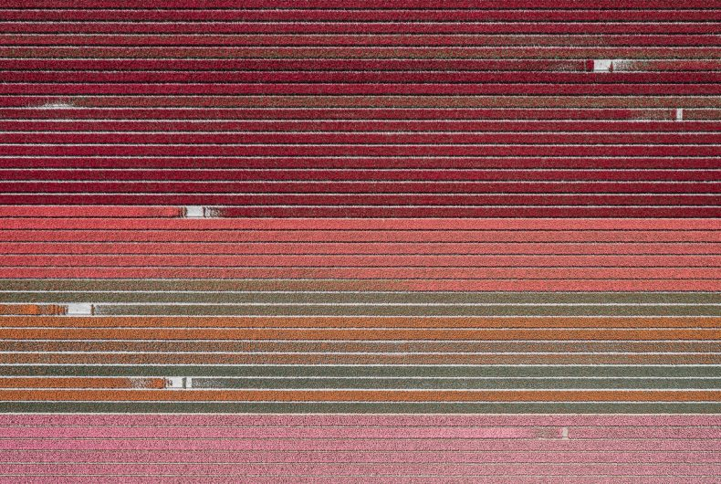 The Tulip Series, Tom Hegen and tulips fields from above