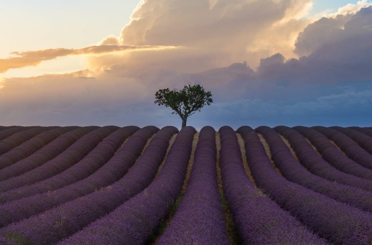 Valensole timelapse, the lavender in bloom of Provence