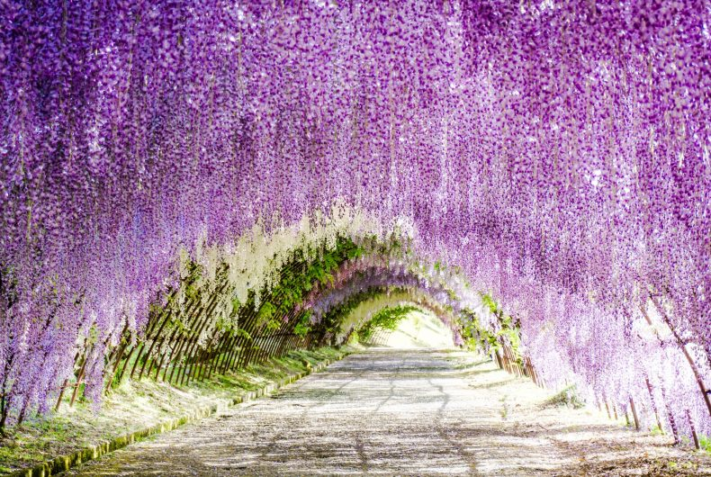 Wisteria tunnel in the Japanese city of Kitakyushu