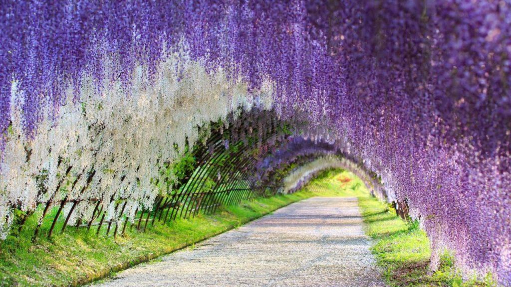 Il tunnel di glicine nella città giapponese di Kitakyushu | Collater.al
